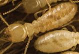 western-subterranean-termite158x108